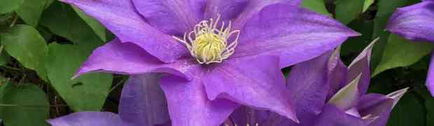How to Care for Clematis