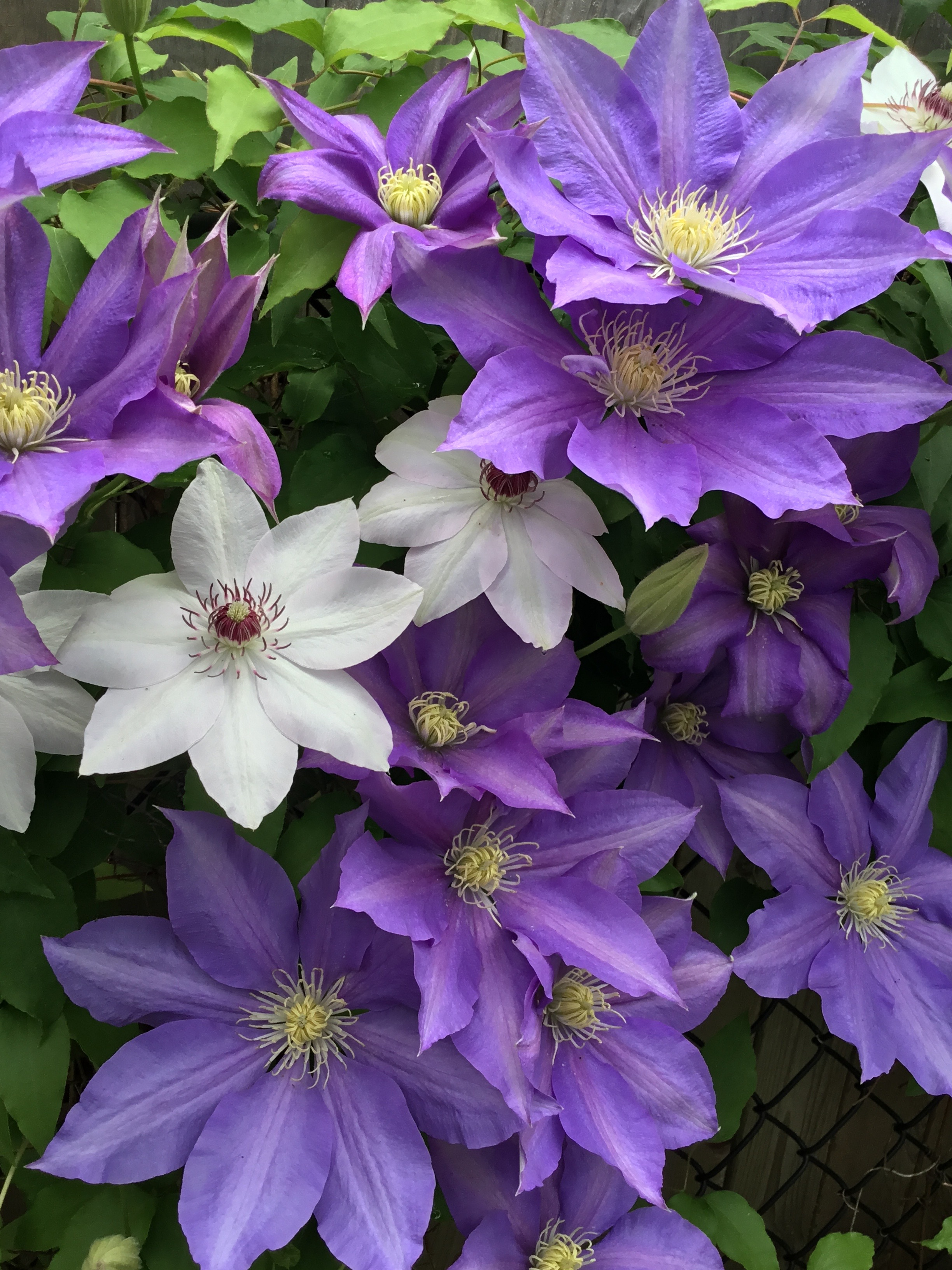 How to Care for Clematis - GoodStuffAtHome