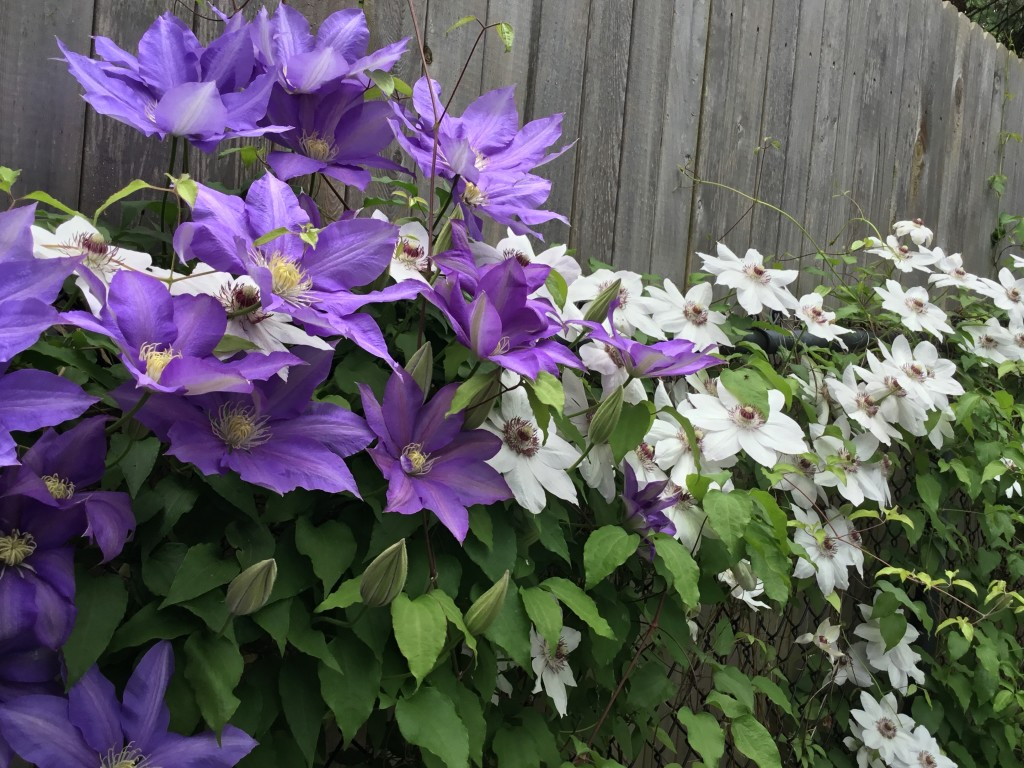 clematis vine fence