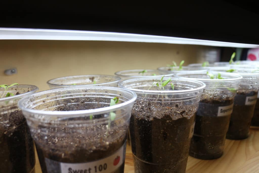 tomato seedlings indoors