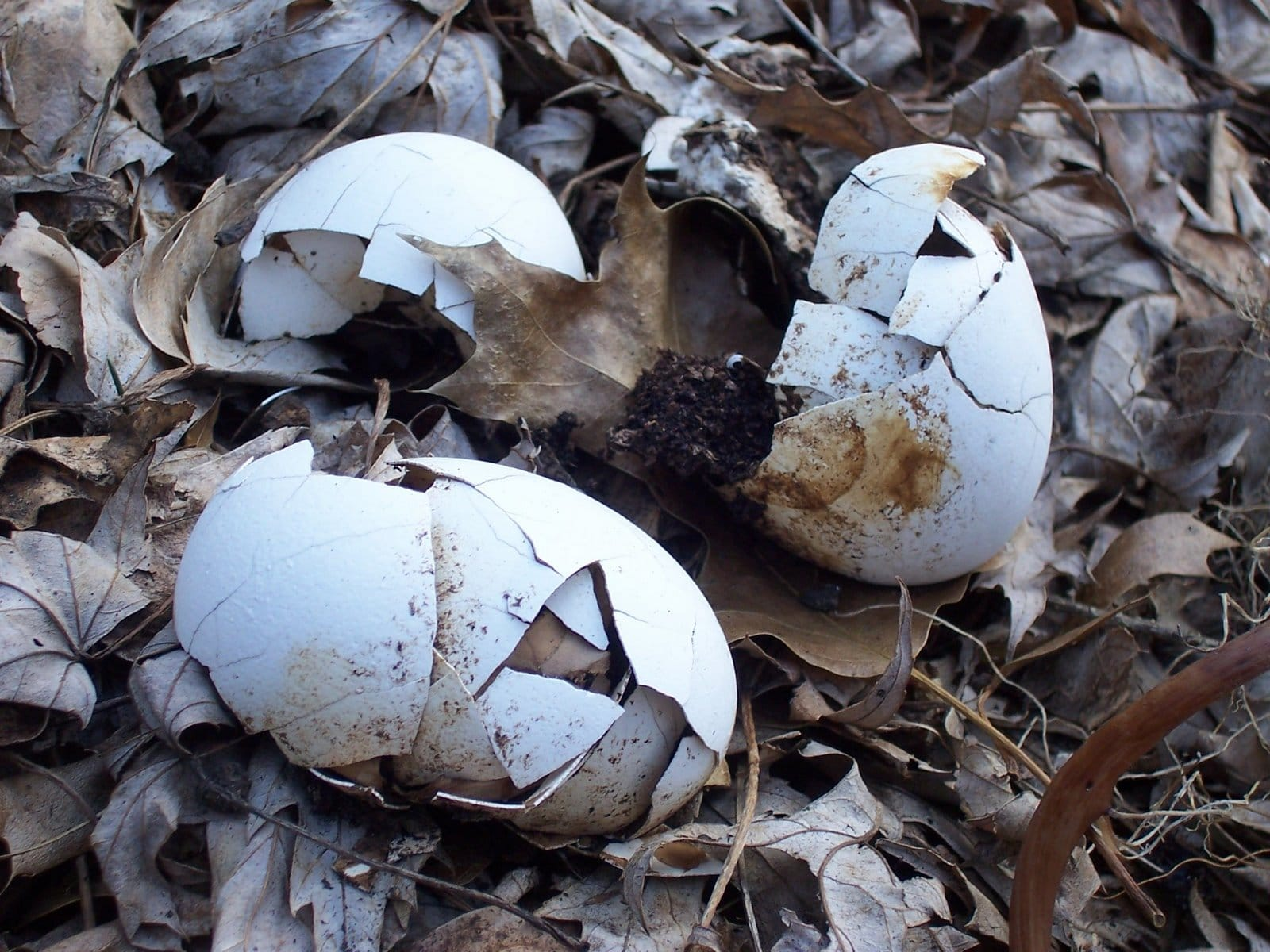 Composting Egg Shells